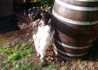 Pugs are always a barrel of fun!