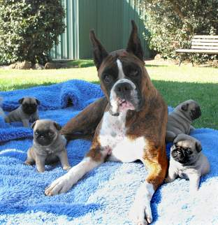 Fergie the Boxer and the Pug pups