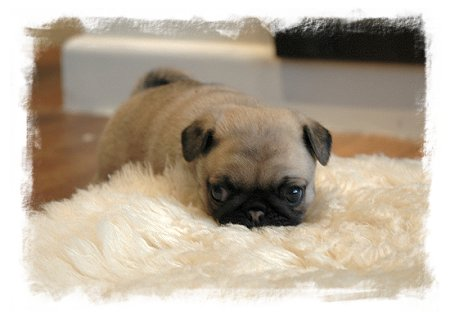 Puppies on Pug Puppy  Rescue Or Foster Home Enquiry Form